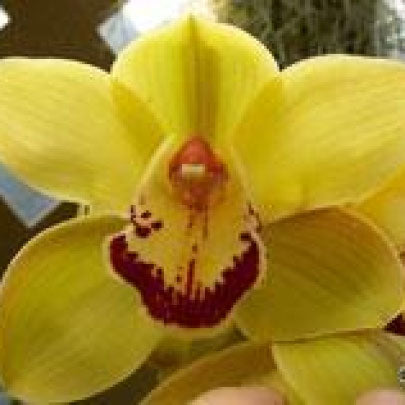 Yellow River Stezzi Cymbidium Orchid