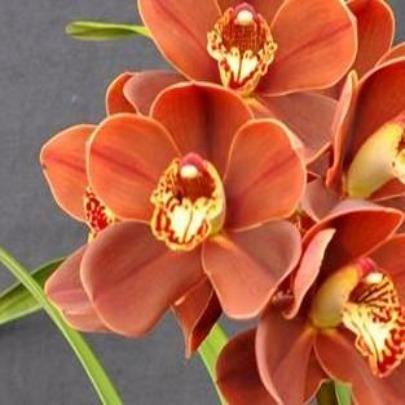 Apache Flame Cymbidium Orchid (Flask)
