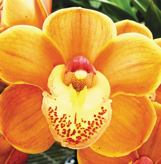 Drouin Masterpiece Cymbidium Orchid For Sale Online in India From Mainaam Garden