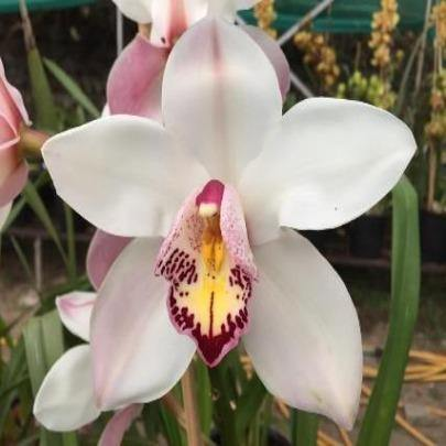Star of Sikkim Cymbidium Orchid - Mainaam Garden