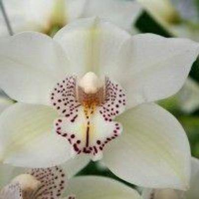 Royal Promise Cymbidium Orchid