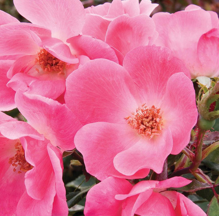 Knockout Rose Pink (Radcon)