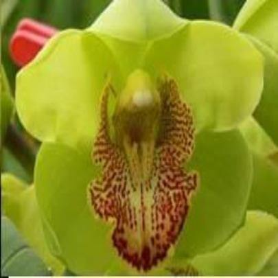 Rembrandt 'Masterpiece' Cymbidium (Flask)