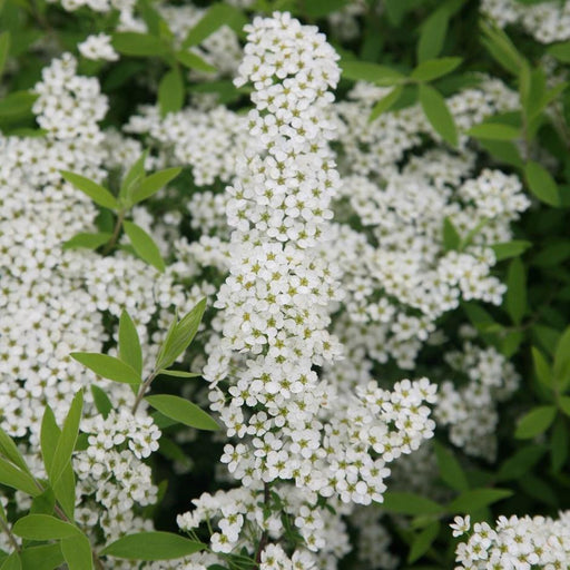 "Spirea  ""Bridal Wreath"" - Mainaam Garden"
