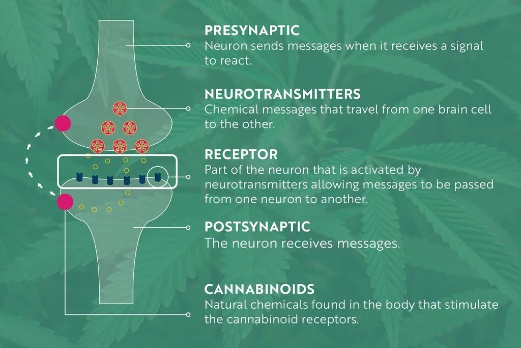 An infographic explaining how CBD may work for pain.