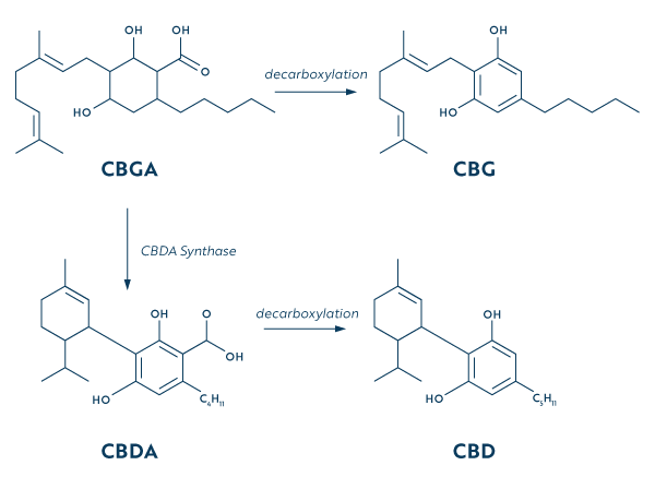 Diagram of what CBG is and how it turns into CBD