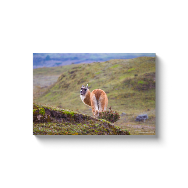 """Alpaca Looking Back in Ecuador"" Canvas Wraps"