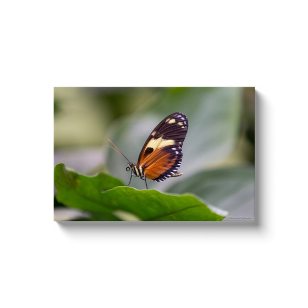 """Butterfly, Ecuador"" Canvas Wraps"