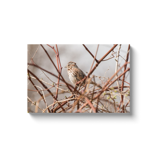 """Song Sparrow, Narragansett, RI"" Canvas Wraps"