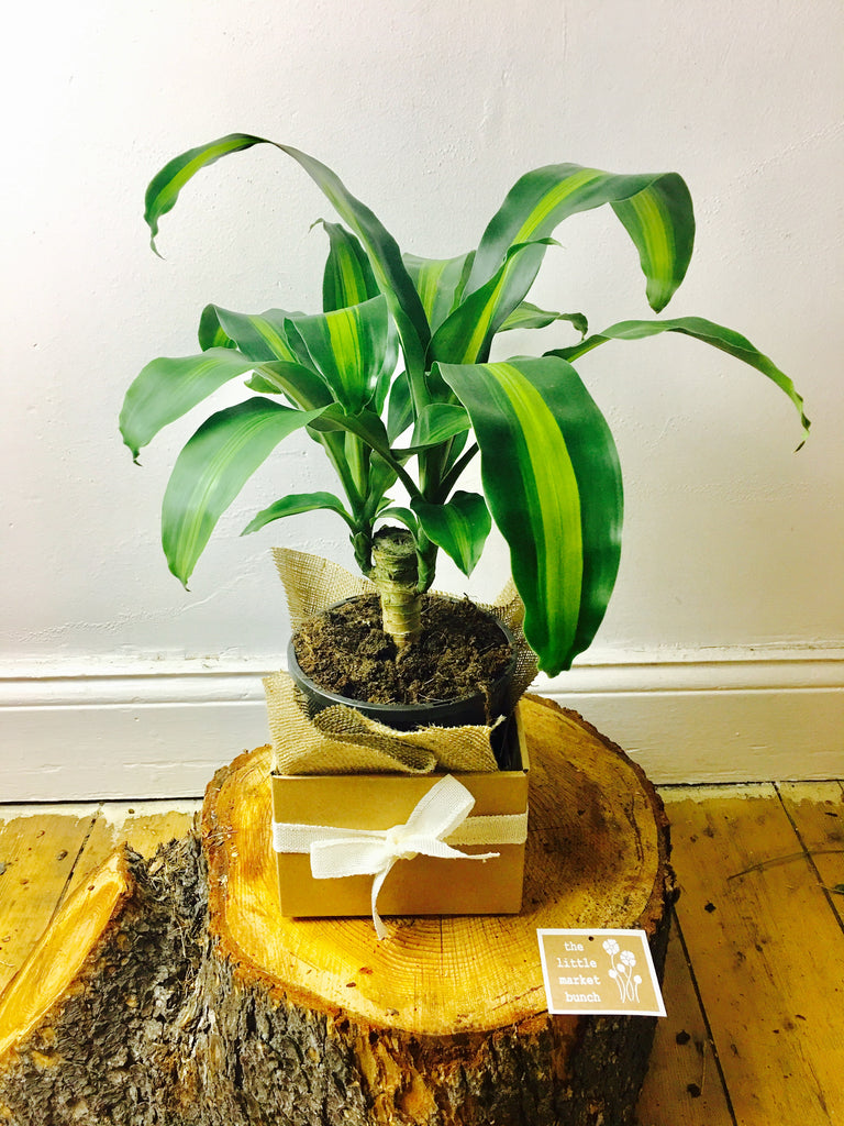 The little market bunch Dracaena fragrans gift box