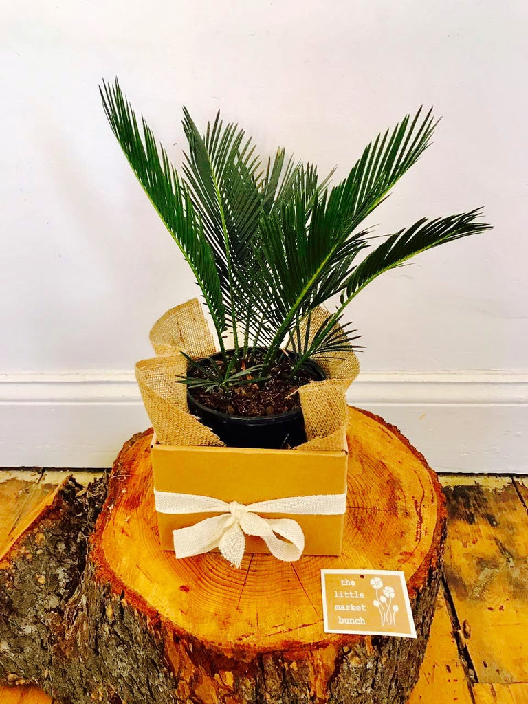 The little market bunch Sago palm gift box