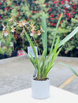 Oncidium orchid pot ( dancing lady orchid )