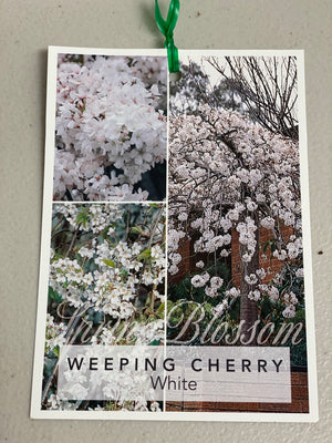 Weeping cherry white extra large