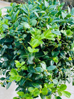 Buxus sempervirens / English box