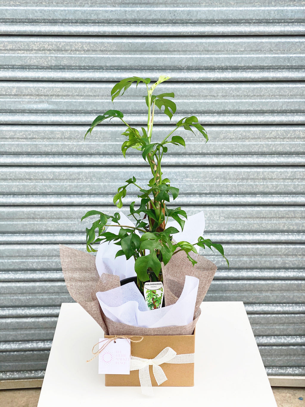 Philodendron Minima Box