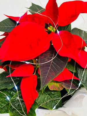 Fairy Light Christmas Poinsettia