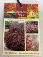 Japanese Maple Tree box
