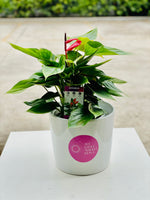 Anthurium Box