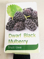 Black mulberry tree