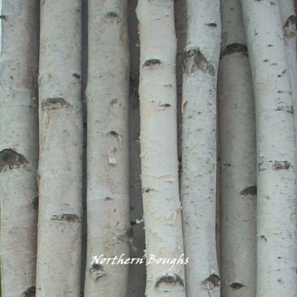 Four Thick White Birch Poles 8 ft - Northern Boughs