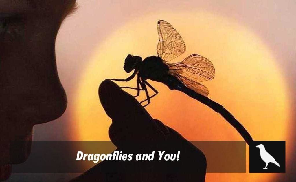 Dragonflies And You The Moonlight Shop