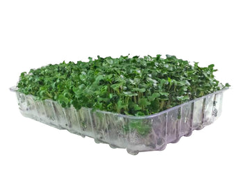 Broccoli Sprouts Live Certified Organic - 200g