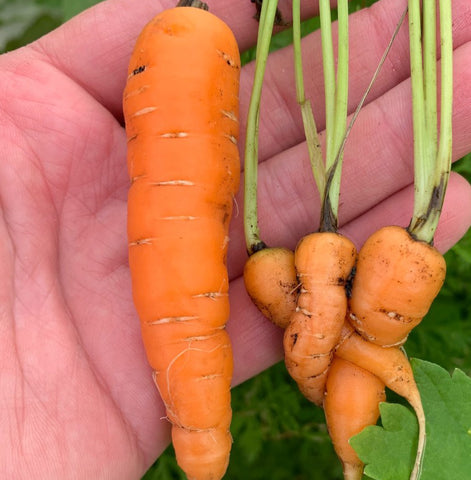 Carrot Thinning test