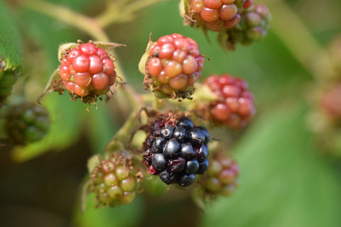 Best time to pick blackberries