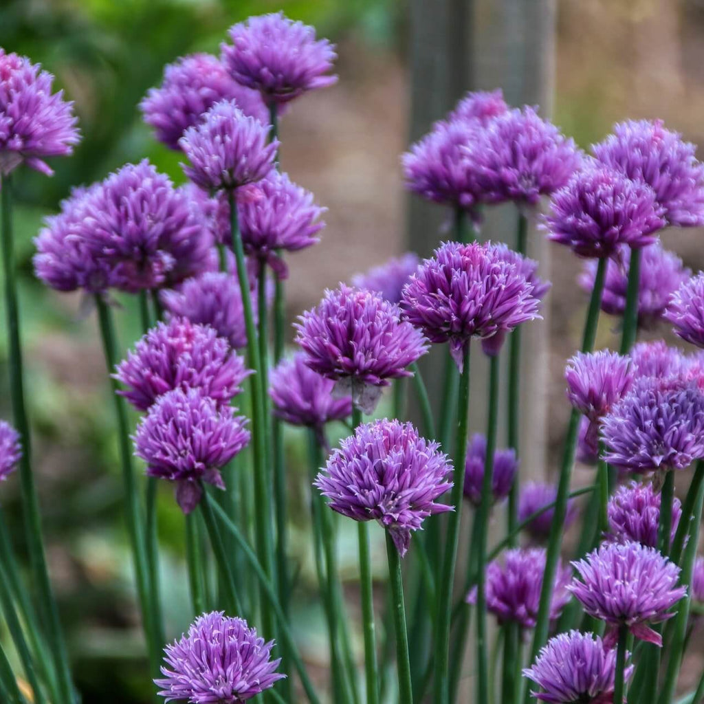 Organic Chives - Herb - Vegetable Seeds