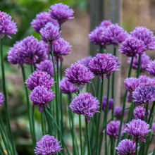 Load image into Gallery viewer, Organic Chives - Herb - Vegetable Seeds