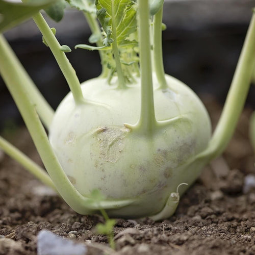 Kohl Rabi - White - Vegetable Seeds