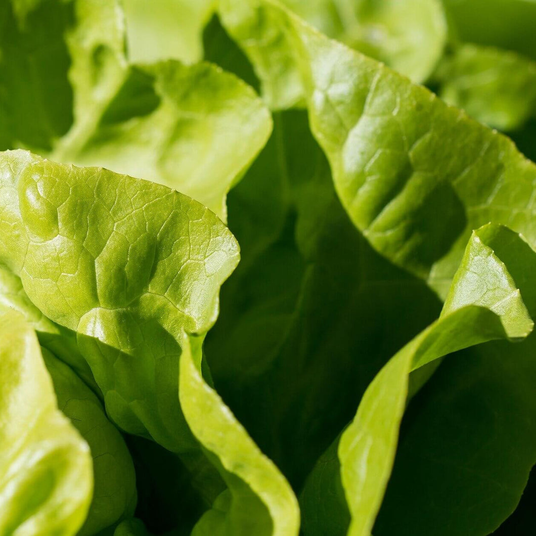 Lettuce - All Year Round - Vegetable Seeds