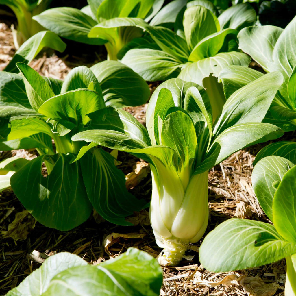 Pak Choi - Tatsoi - Vegetable Seeds
