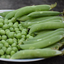 Load image into Gallery viewer, Pea / Mangetout - Carouby de Maussane - Vegetable Seeds - seedsloth.com