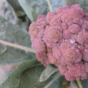 Purple Broccoli - Calabrese Purple - Vegetable Seeds
