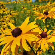 Load image into Gallery viewer, Rudbeckia - Black Eyed Susan - Flower Seeds