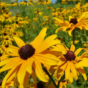 Rudbeckia - Black Eyed Susan - Flower Seeds