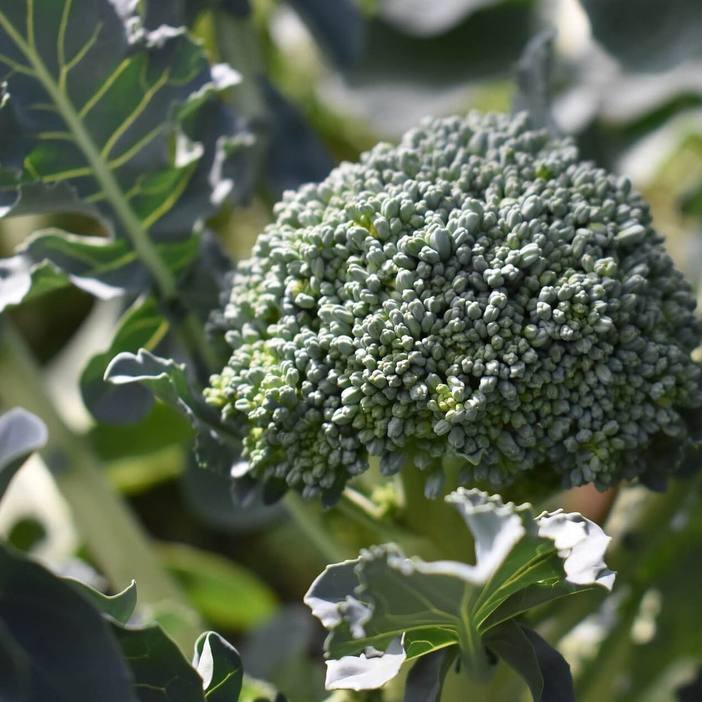 Broccoli - Calabrese Green - Vegetable Seeds