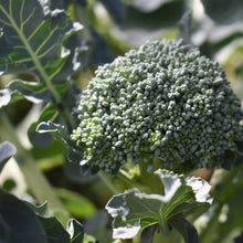 Load image into Gallery viewer, Broccoli - Calabrese Green - Vegetable Seeds