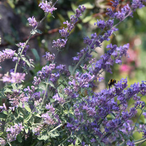 Cat Nip - Nepeta Mussini - Flower Seeds - seedsloth.com