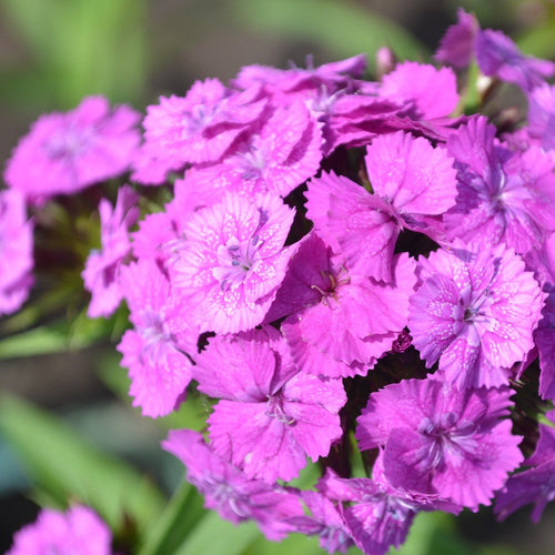 Sweet William - Dianthus Barbatus - Flower Seeds - Seedsloth