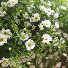 Load image into Gallery viewer, Gypsophila paniculata - Babys Breath - Flower Seeds