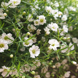 Gypsophila paniculata - Babys Breath - Flower Seeds
