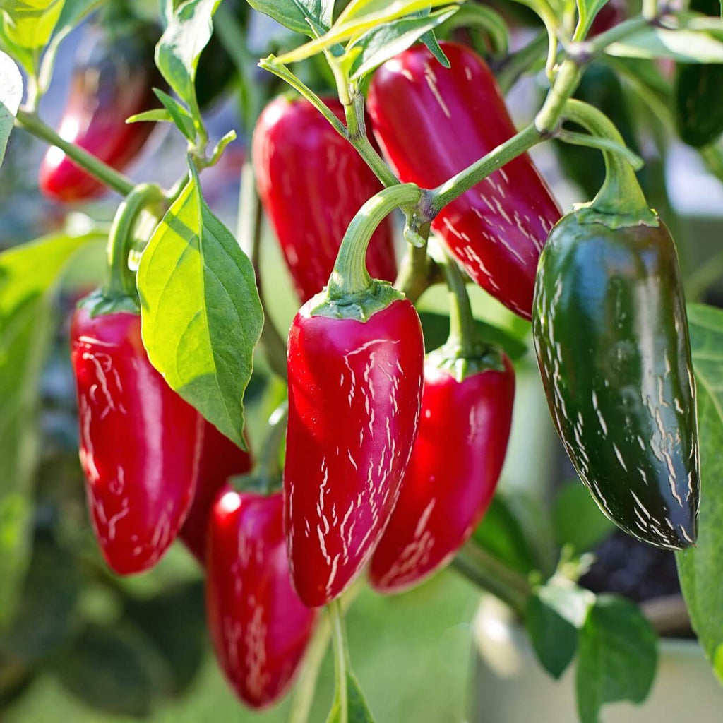 Jalapeno Chili Peppers - Vegetable Seeds