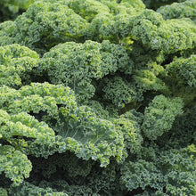 Load image into Gallery viewer, Kale - Dwarf Curley Leaf Borecole - Vegetable Seeds - seedsloth.com