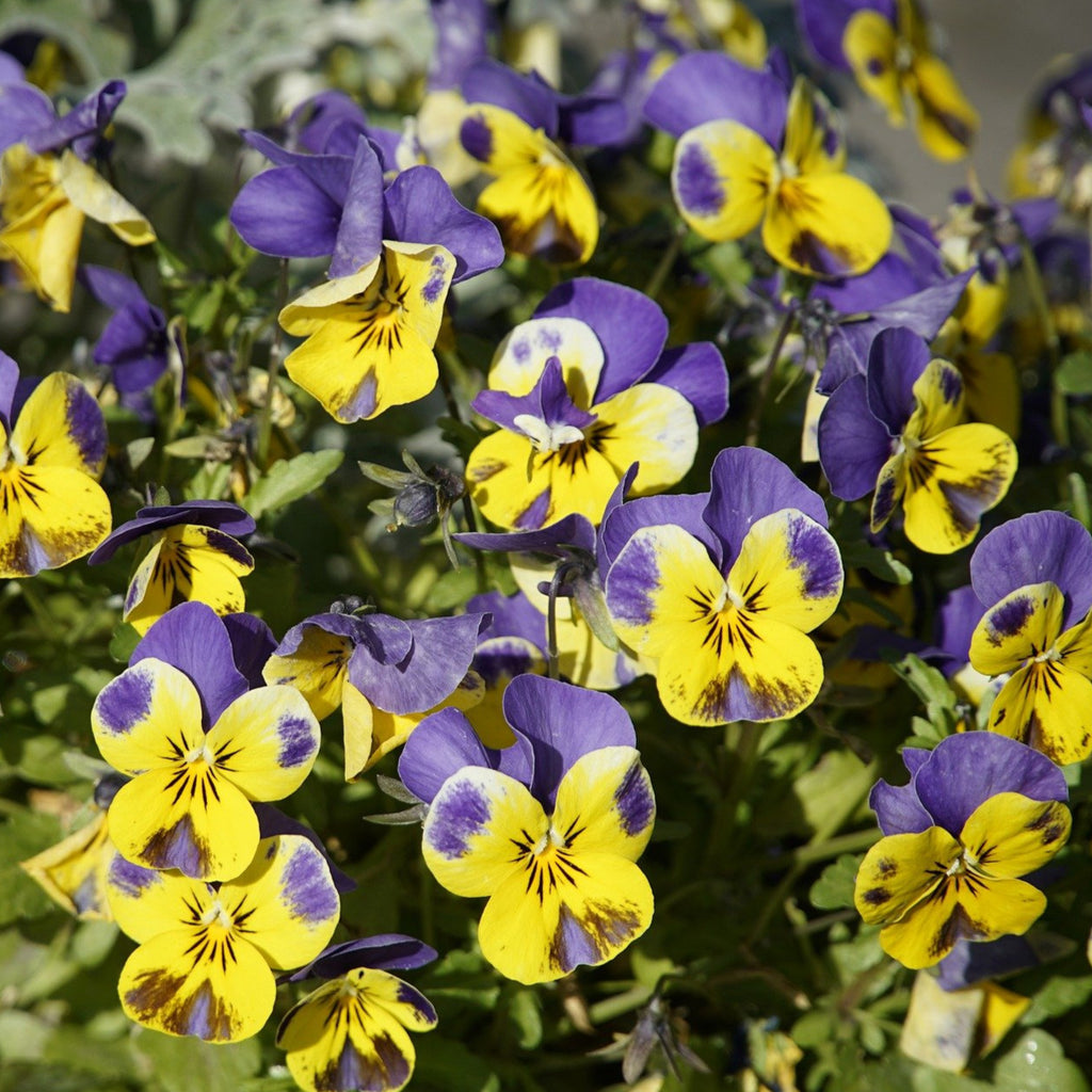 Hearts Ease - Viola Tricolour - Flower Seeds - Seedsloth