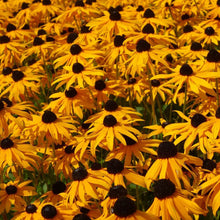 Load image into Gallery viewer, Rudbeckia - Marmalade - Flower Seeds - seedsloth.com