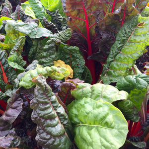 Rainbow Chard - Mixed - Vegetable Seeds