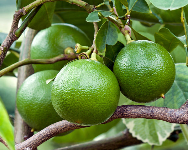 Bergamot: Discovering the essential oil jackpot