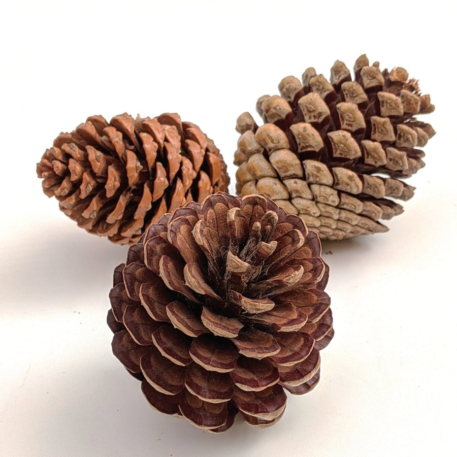 Large Natural Pine Cones x 3 - The Danes